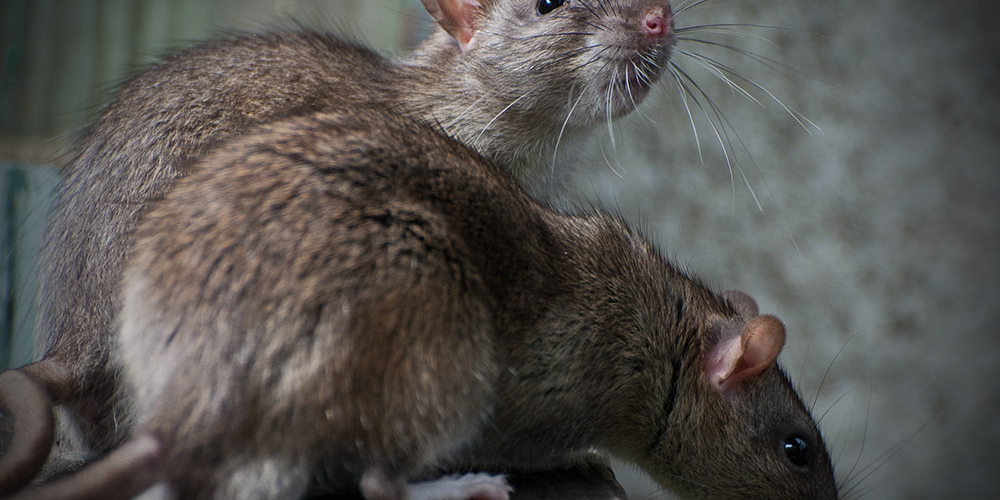 How do ultrasonic devices work on mice and rats?