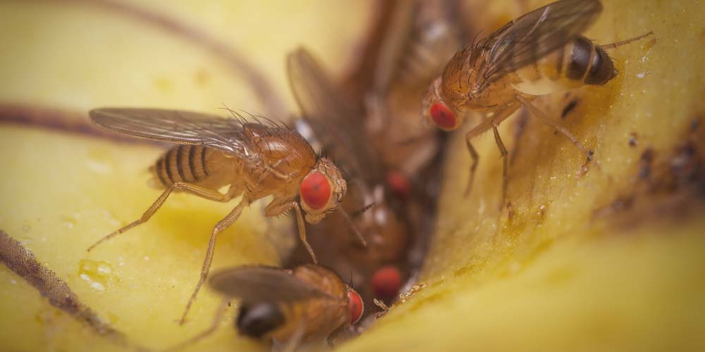 All about fruit flies