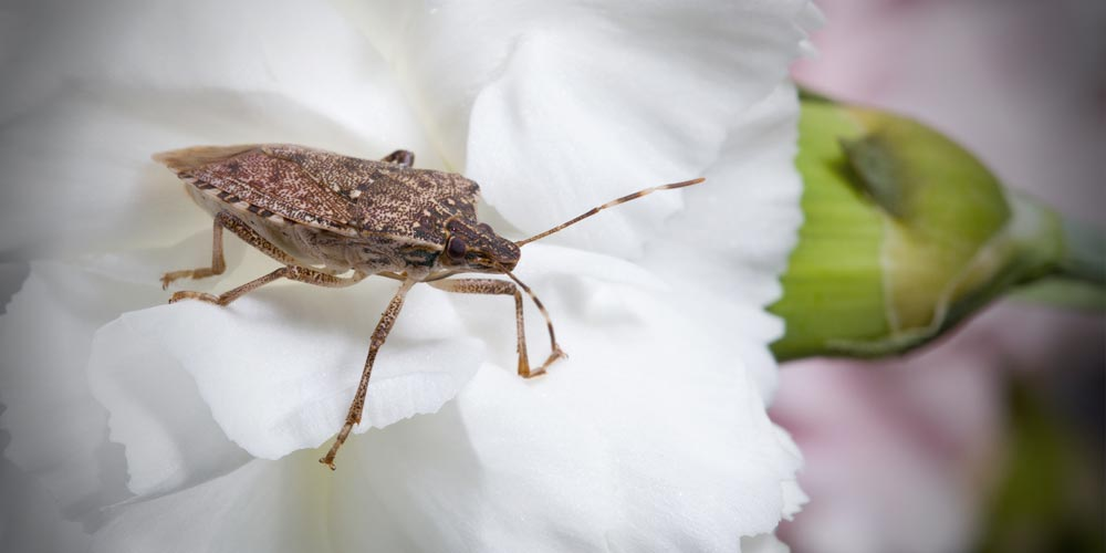 Brown marmorated stink bug invasion in Canada