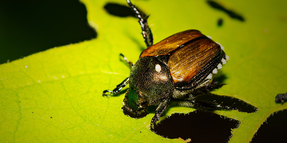 A predator of the japanese beetle