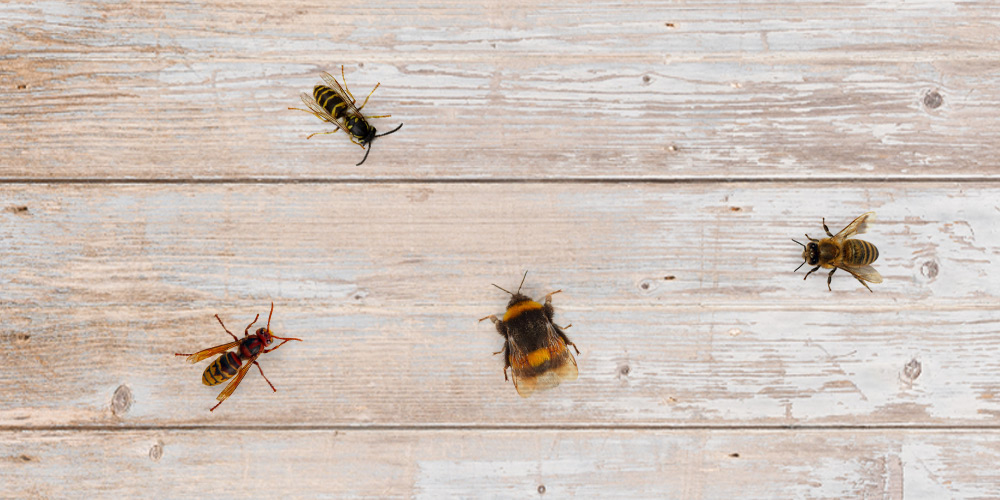How to make the difference between bees, bumblebees, wasps and hornets