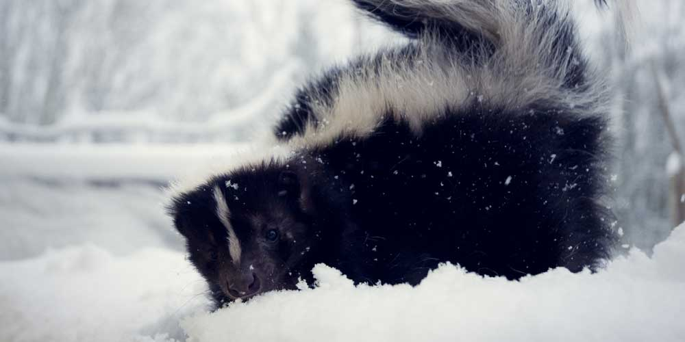Do skunk hibernate in the winter