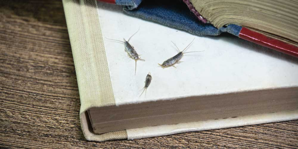 Getting to know silverfish